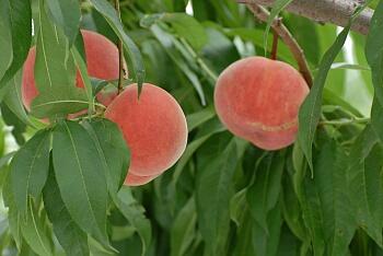 夏の飯坂は、自然と果物いっぱい!!!